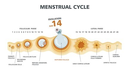 menstral cycle